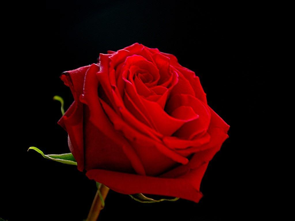 Black And Red Rose Wallpapers Top Free Black And Red Rose Backgrounds Wallpaperaccess