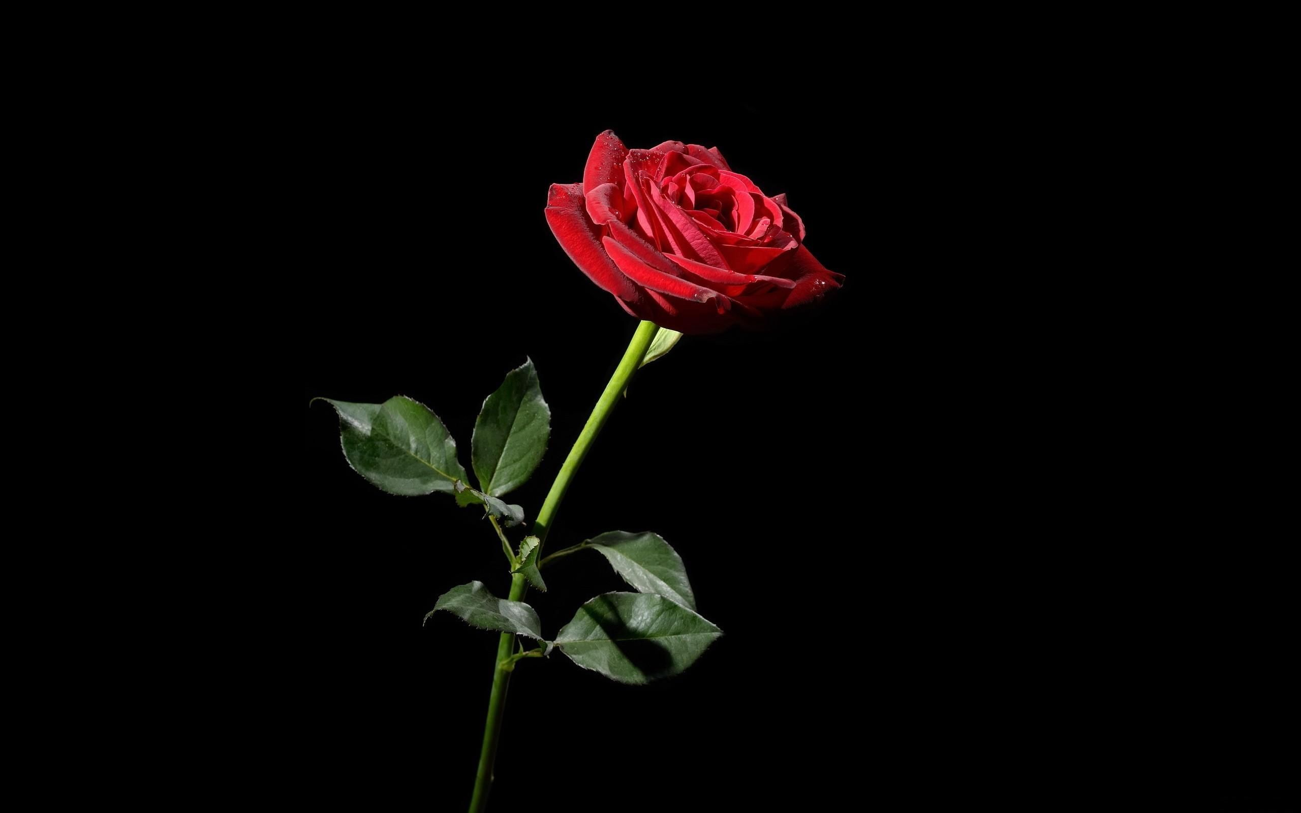 Black And Red Rose Wallpapers Top Free Black And Red Rose