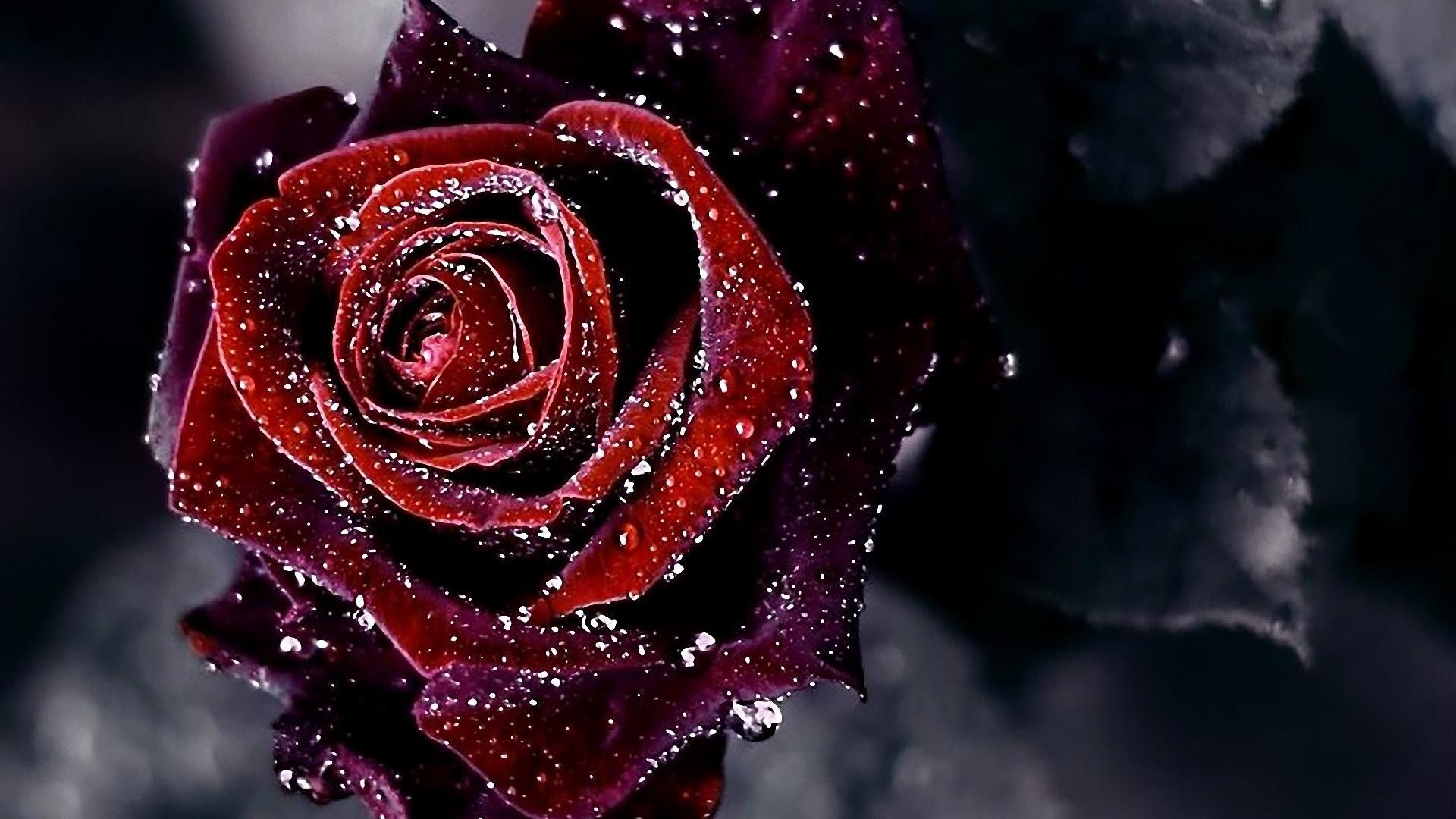 Dark Red Roses Wallpapers Top Free Dark Red Roses Backgrounds Wallpaperaccess