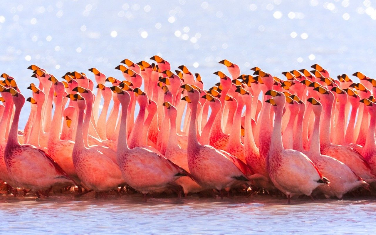 Photography Flamingo iPhone Wallpapers - Top Free ...