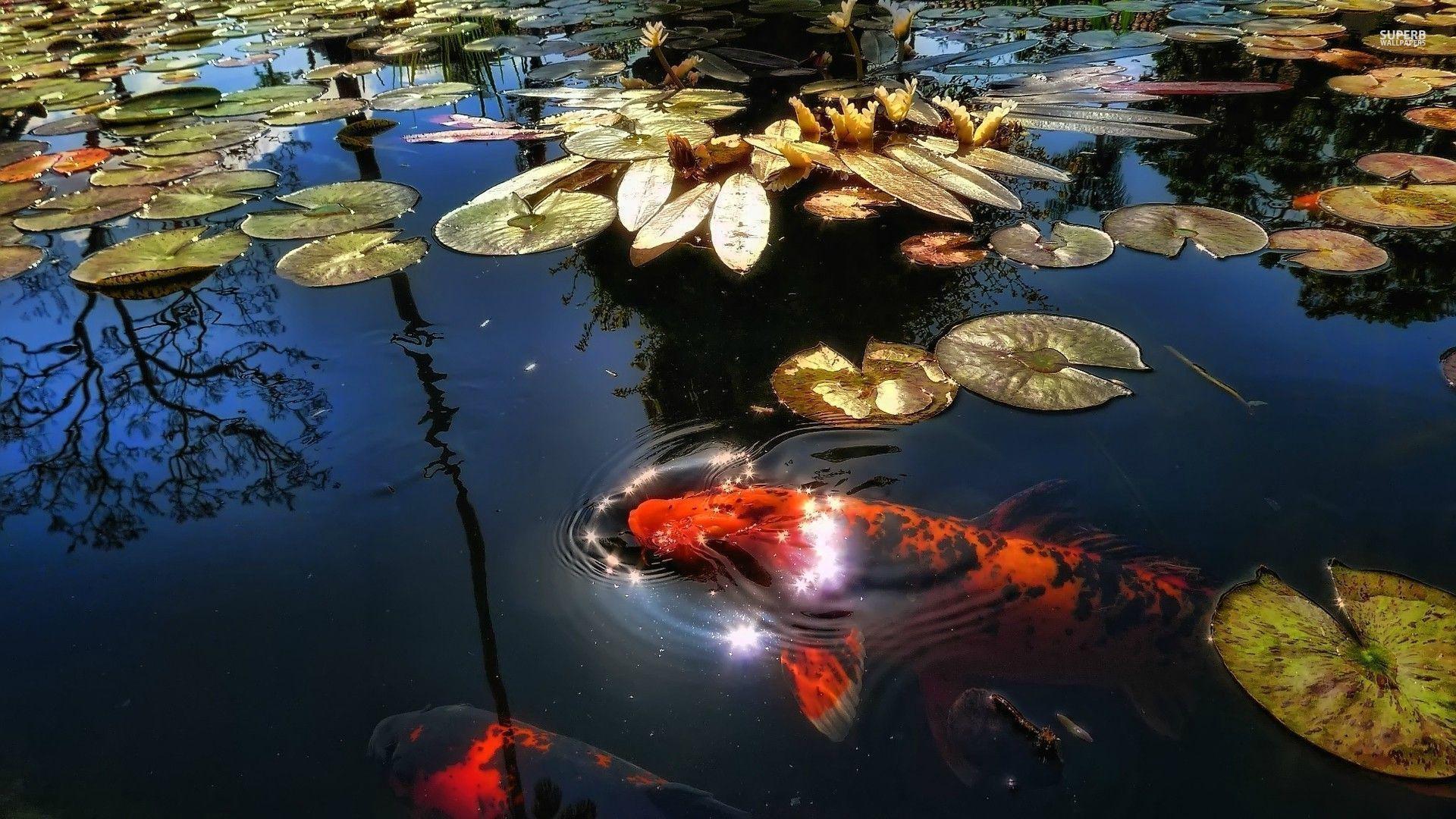 Koi pond wallpapers top free koi pond backgrounds for Koi pond screensaver
