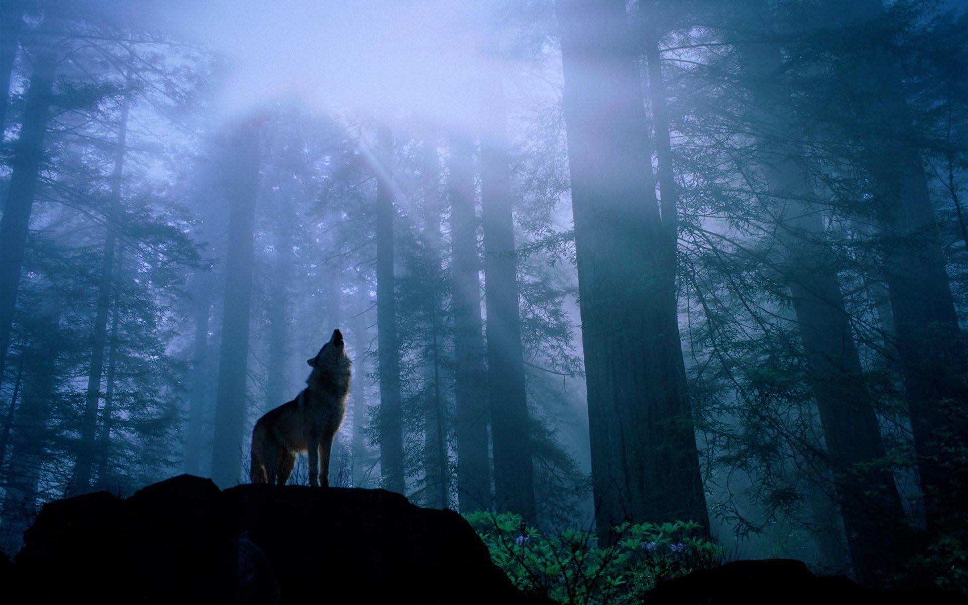 Hình nền và hình nền HD 1920x1200 Wolf
