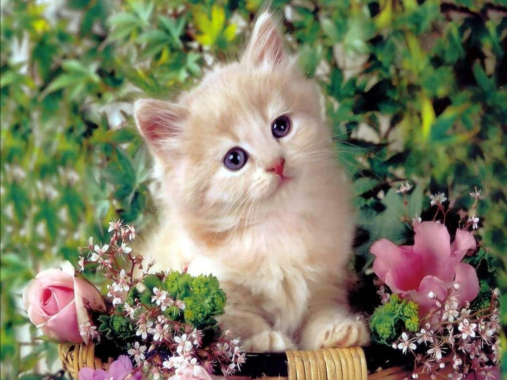 Cute Kitty Wallpapers Top Free Cute Kitty Backgrounds Wallpaperaccess