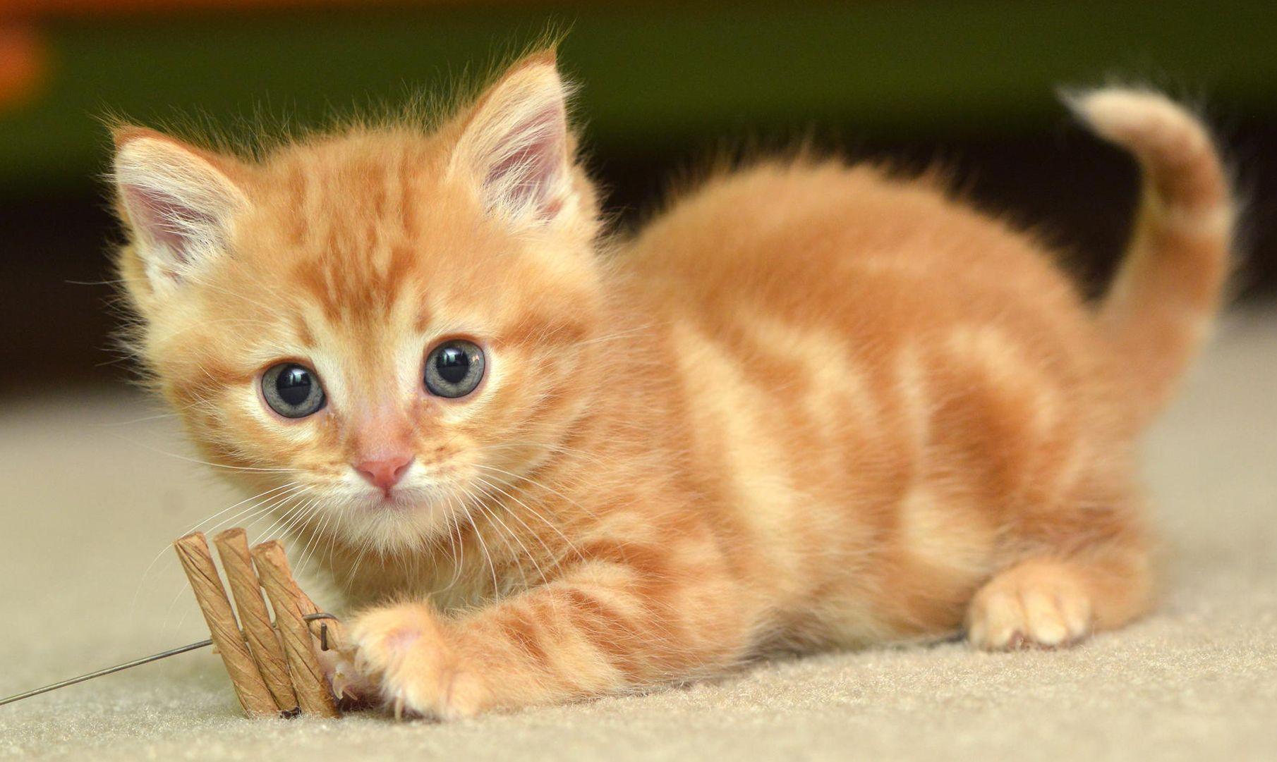 Hình nền mèo đẹp nhất 1810x1081 Hình ảnh HD dễ thương Hình ảnh mèo máy tính để bàn dành cho Android