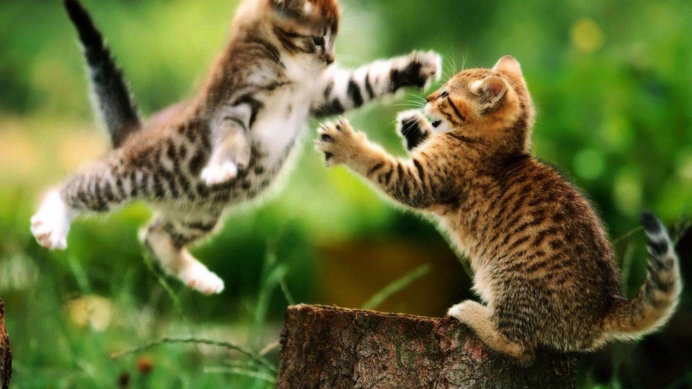 Hình nền HD 1366x768 Của những chú mèo dễ thương