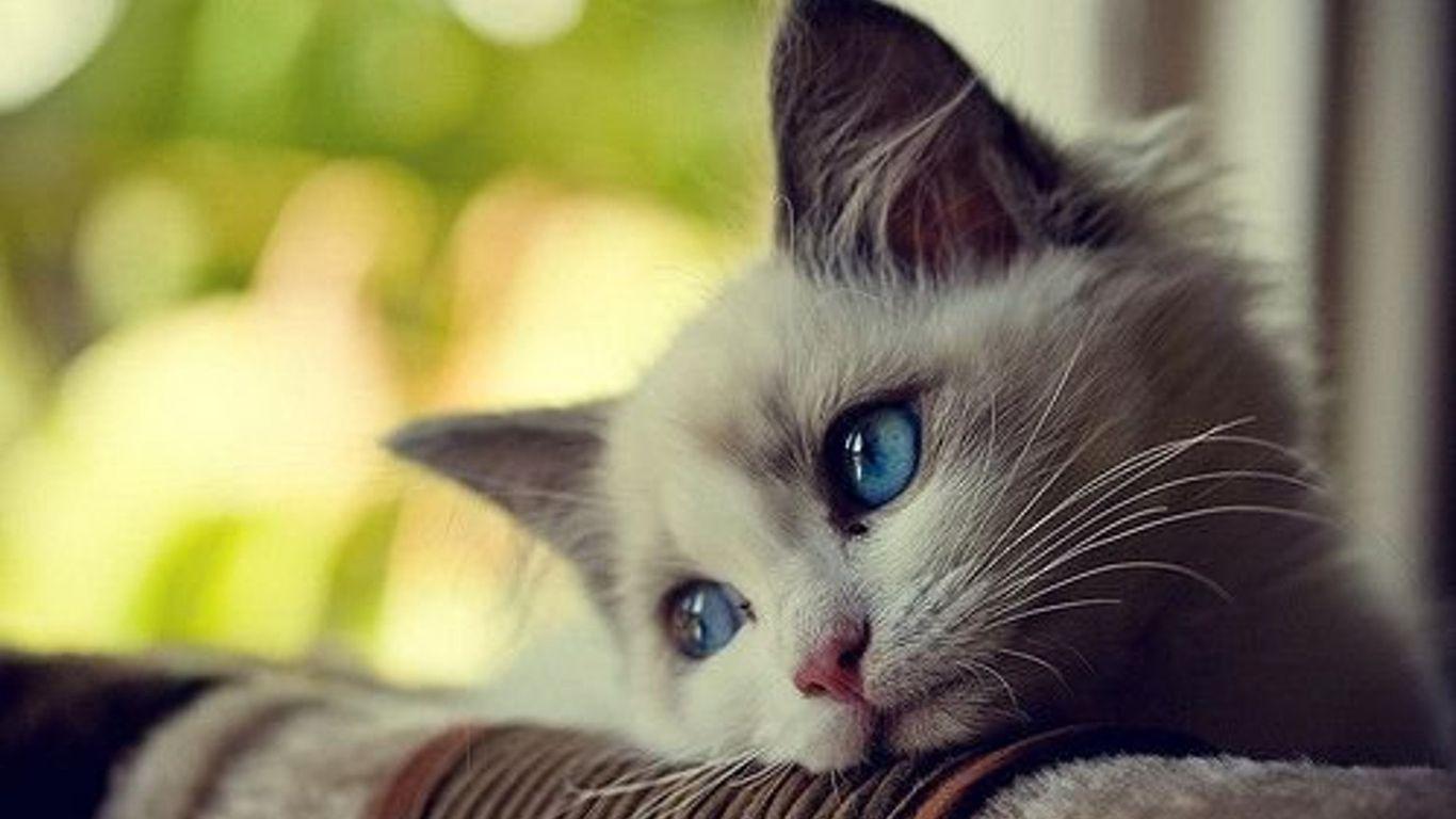 Hình nền mèo con dễ thương 1366x768