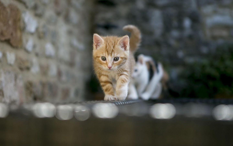 1440x900 Hình ảnh Mèo Kitty dễ thương nhất.  Mèo con hình nền dễ thương