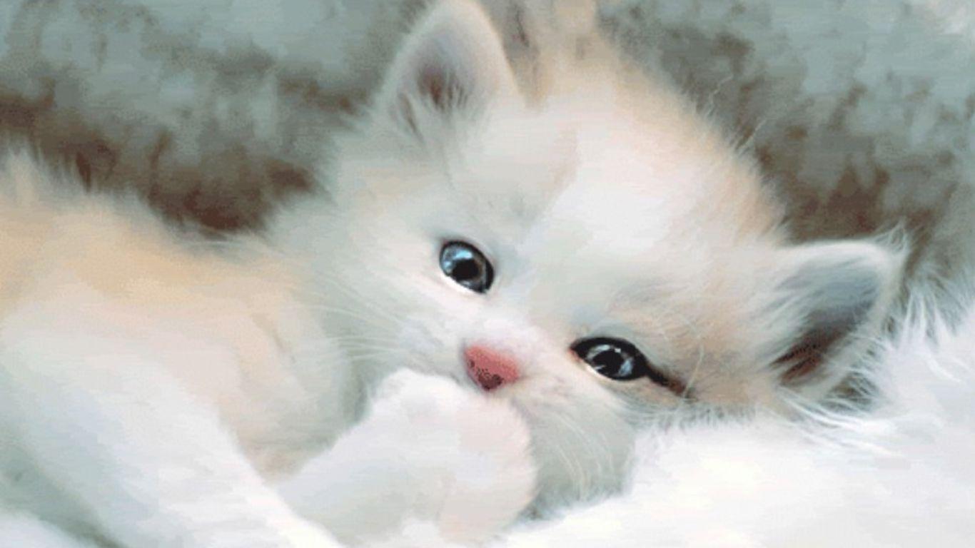 1366x768 Hình nền mèo trắng dễ thương