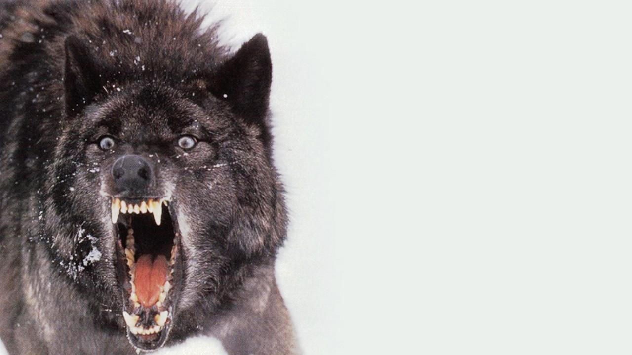 Hình nền chó sói đen 1280x719