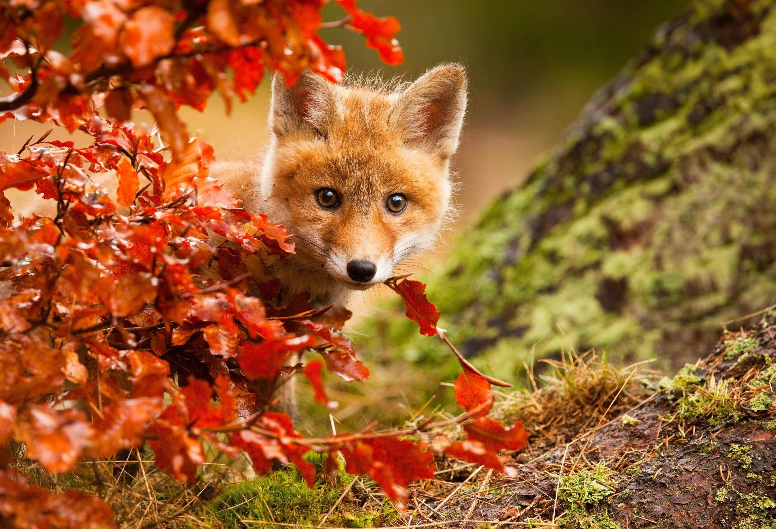 Fall Animal Wallpapers Top Free Fall Animal Backgrounds