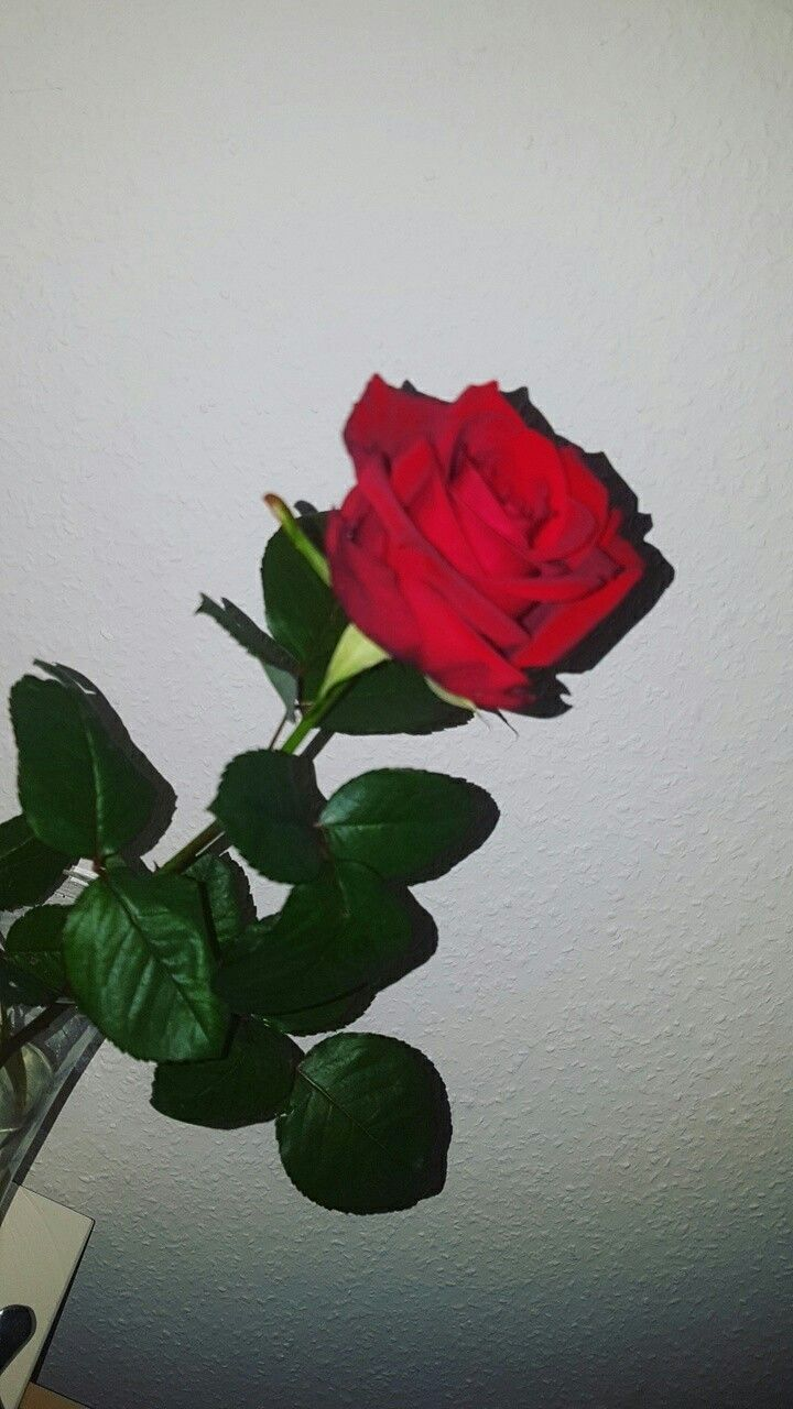 Aesthetic Rose Flowers Wallpapers Top Free Aesthetic Rose Flowers