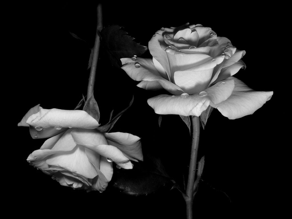 Black And White Flowers Desktop Wallpapers Top Free Black And White Flowers Desktop Backgrounds Wallpaperaccess