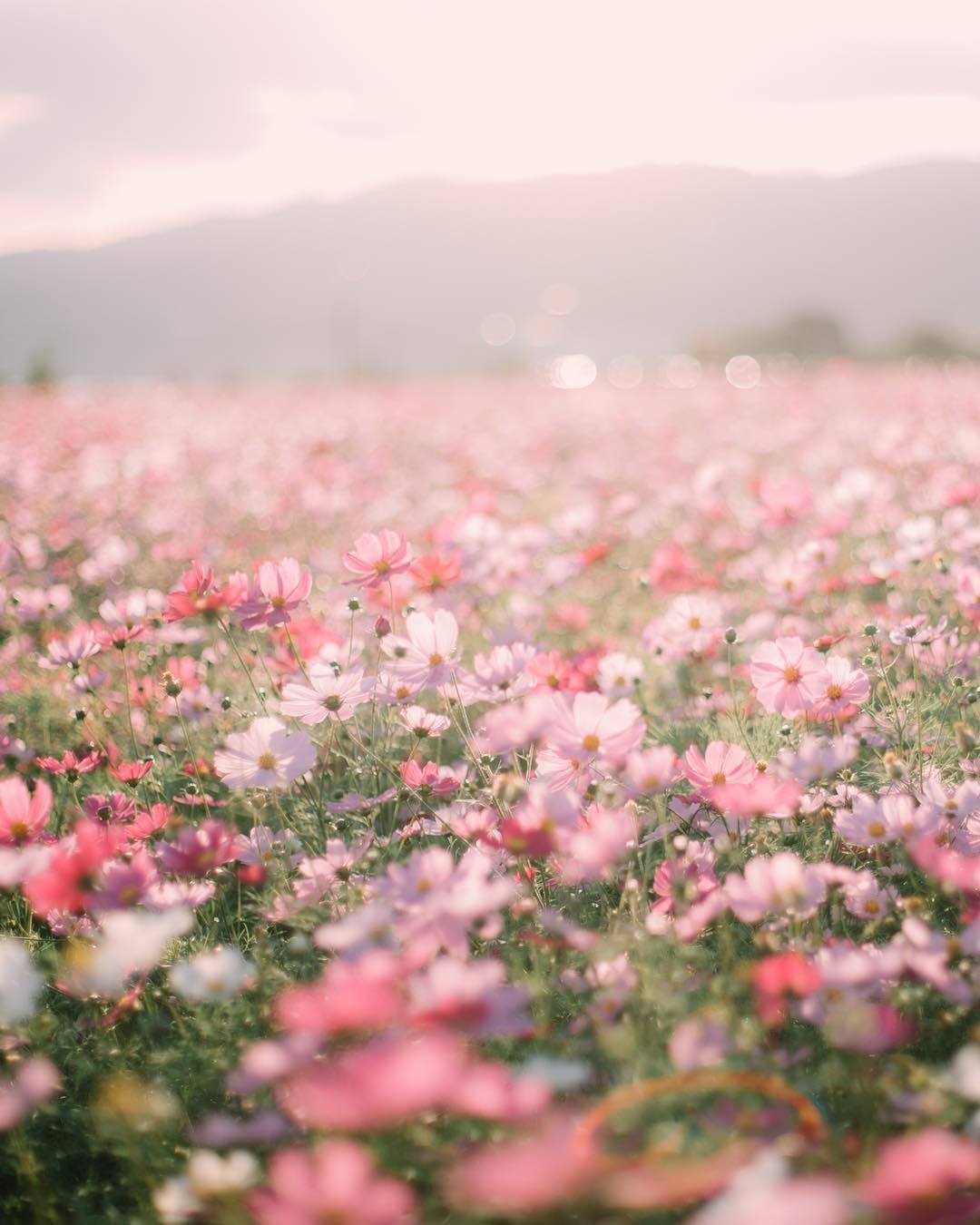 Pink Flowers Aesthetic Wallpapers Top Free Pink Flowers Aesthetic Backgrounds Wallpaperaccess