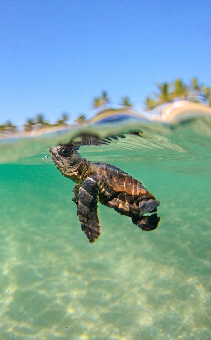 Honu sea turtle iphone wallpapers top free honu sea turtle iphone backgrounds wallpaperaccess - Cute turtle pics ...