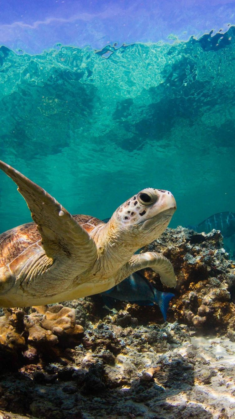 Sea Turtle Iphone Wallpapers Top Free Sea Turtle Iphone