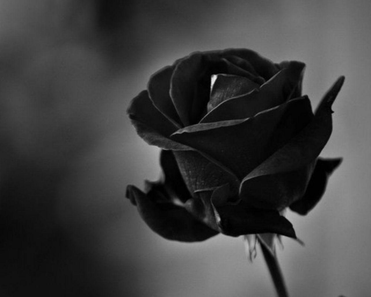 Black Rose Wallpapers Top Free Black Rose Backgrounds Wallpaperaccess