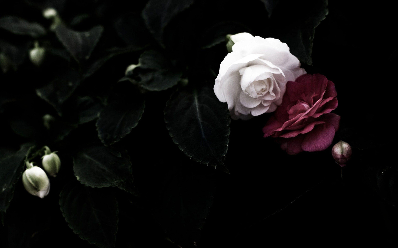 Black Rose Wallpapers Top Free Black Rose Backgrounds