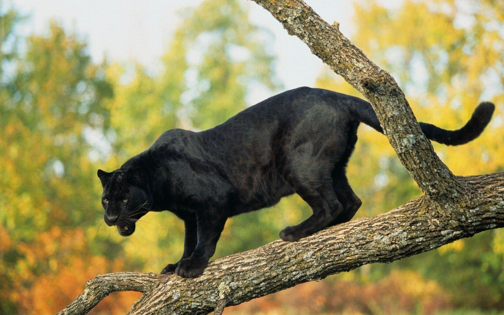 Jumping Black Panther Animal Wallpapers Top Free Jumping Black Panther Animal Backgrounds Wallpaperaccess