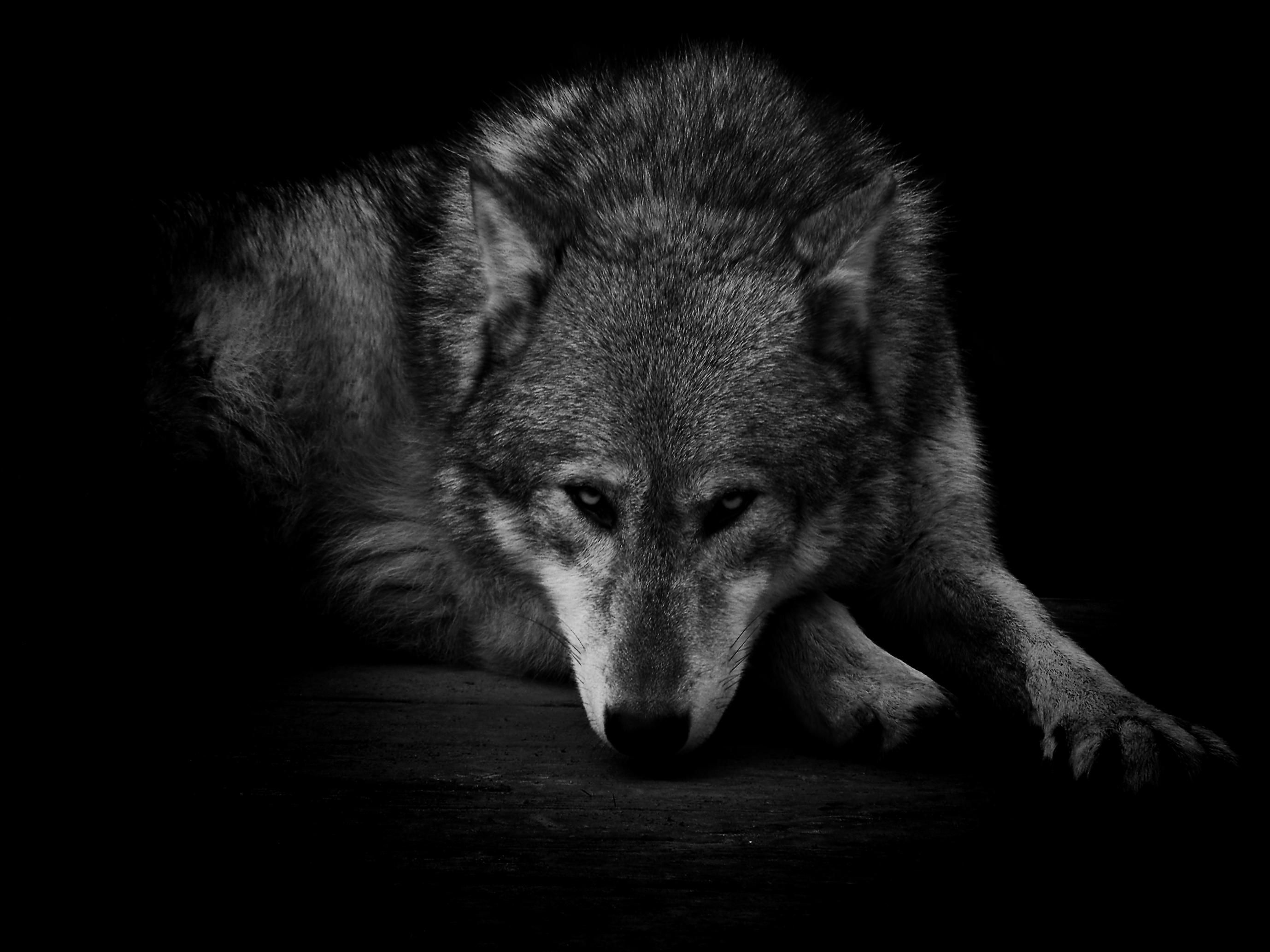 Lone Black Wolf Wallpapers Top Free Lone Black Wolf Backgrounds Wallpaperaccess