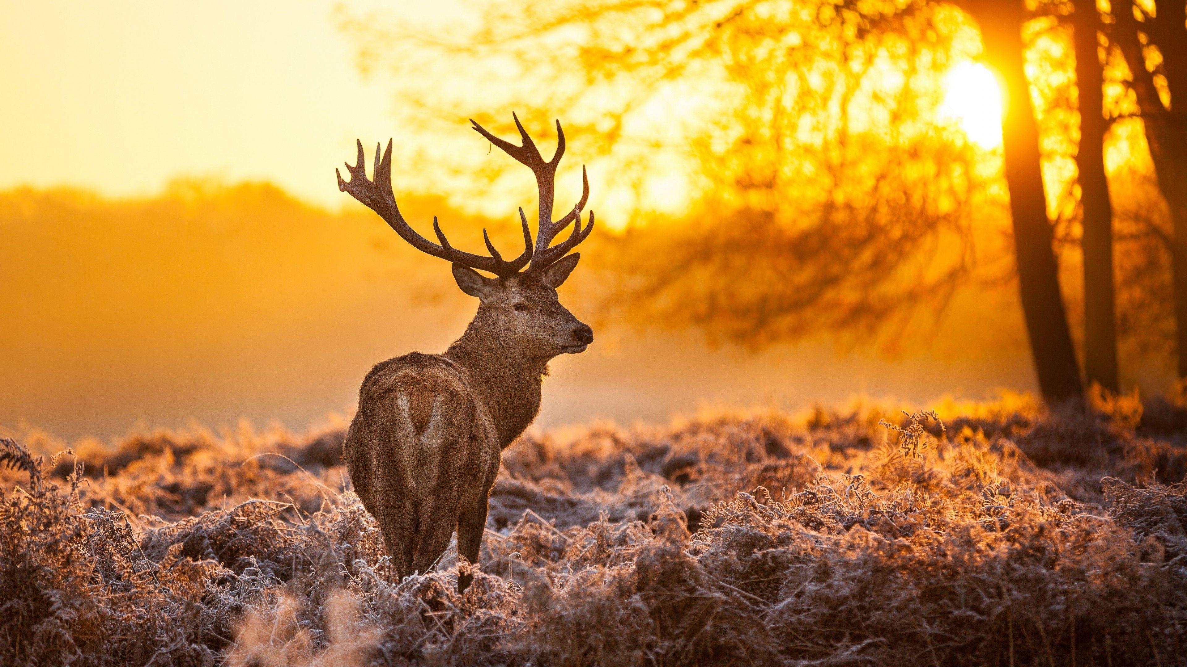 3840x2160 Hình nền Deer, 4k, Hình nền có độ phân giải cao, hoang dã, mặt trời, màu vàng, thiên nhiên