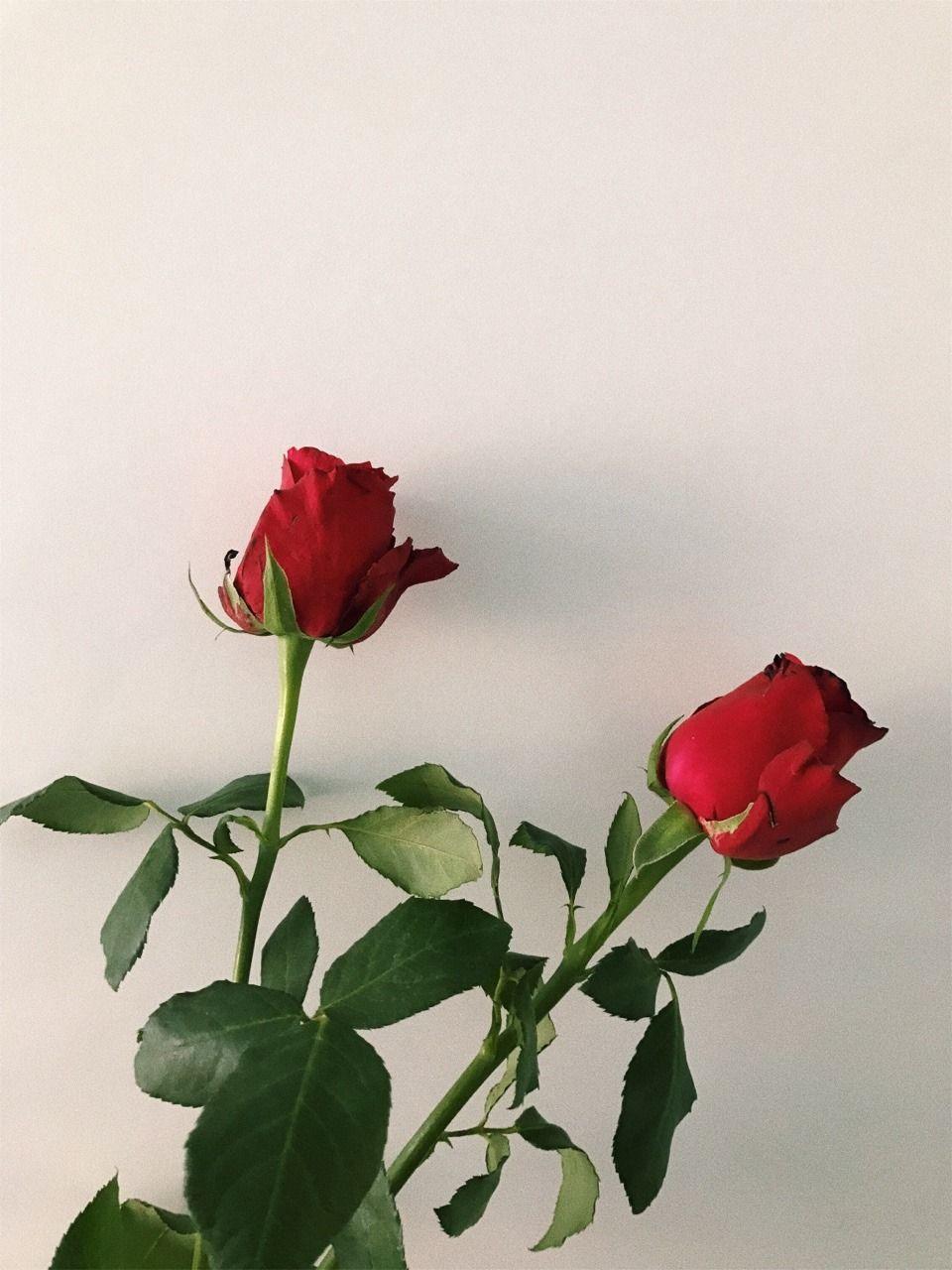 Aesthetic Rose Flowers Wallpapers , Top Free Aesthetic Rose