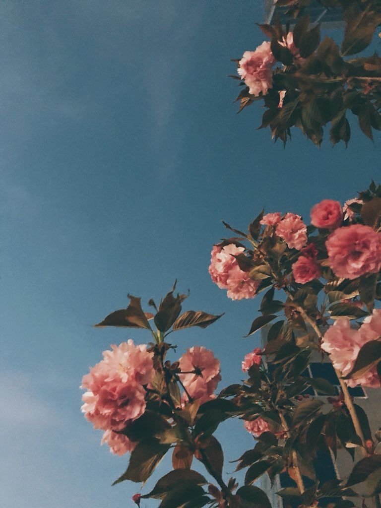 Aesthetic Rose Flowers Wallpapers - Top Free Aesthetic ...