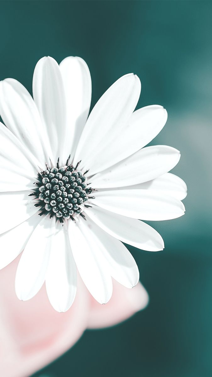 White Flower Iphone Wallpapers Top Free White Flower Iphone Backgrounds Wallpaperaccess
