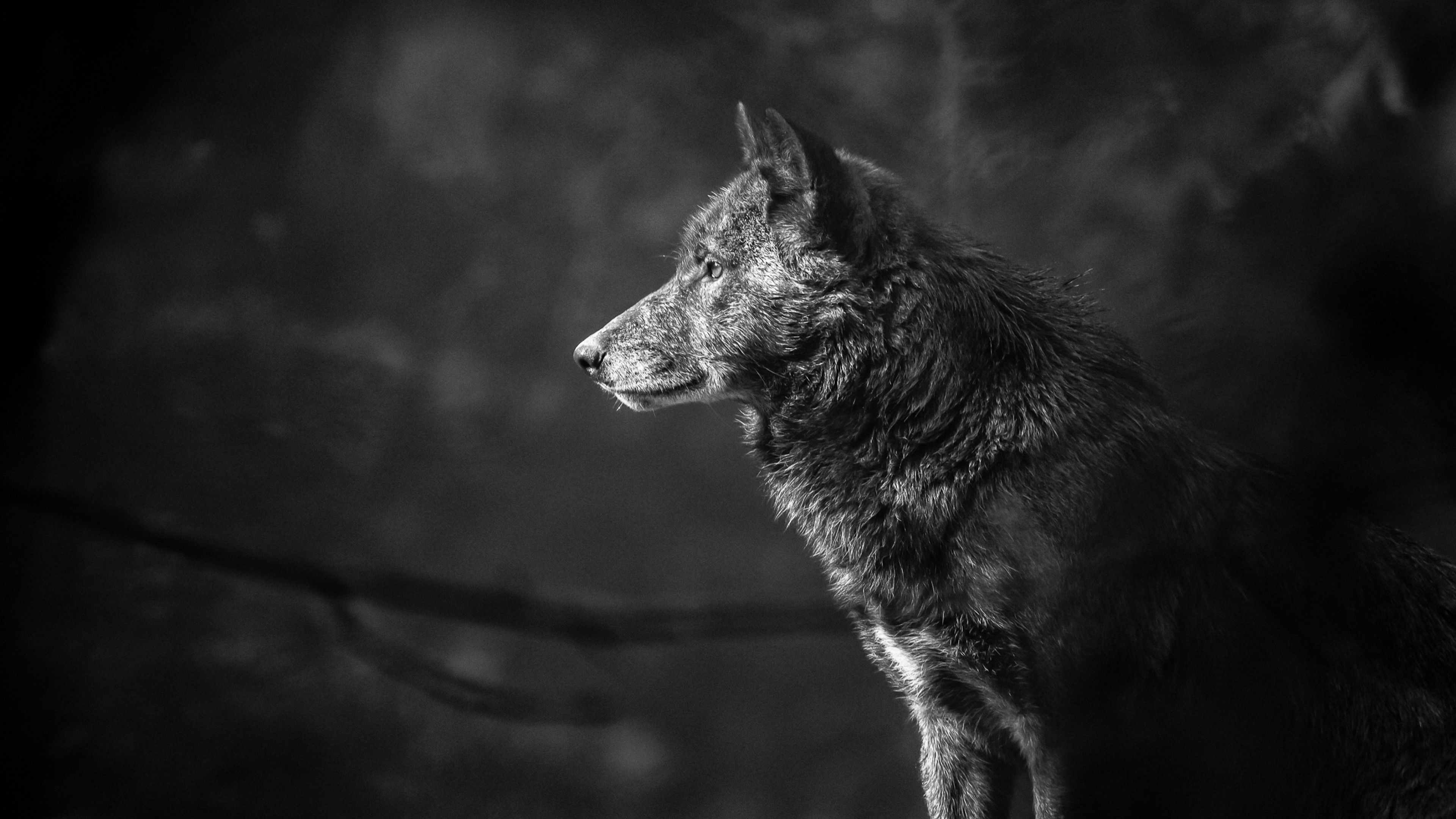 Wolves 4K Wallpapers - Top Free Wolves 4K Backgrounds ...