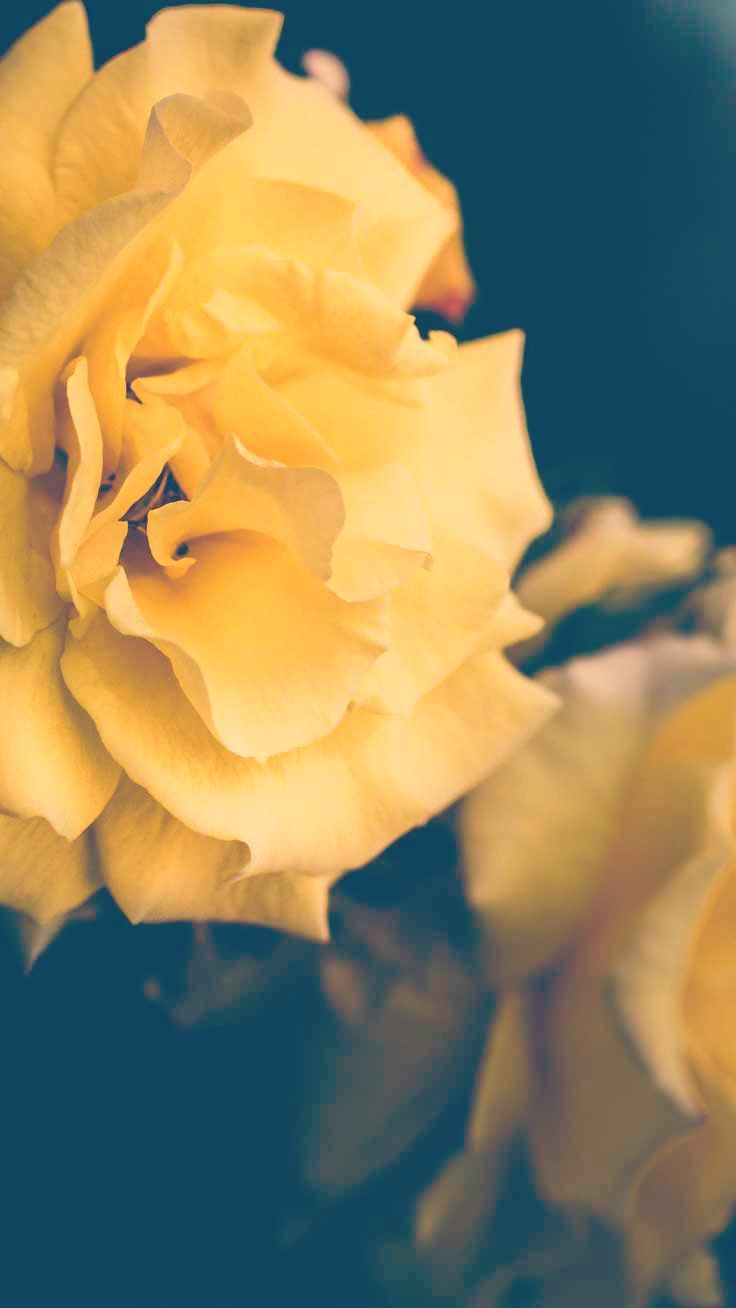 Yellow Rose iPhone Wallpapers , Top Free Yellow Rose iPhone