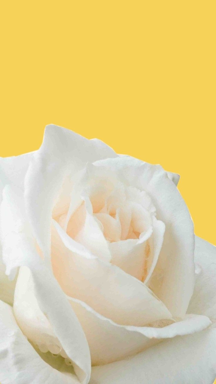 Yellow Rose Iphone Wallpapers Top Free Yellow Rose Iphone