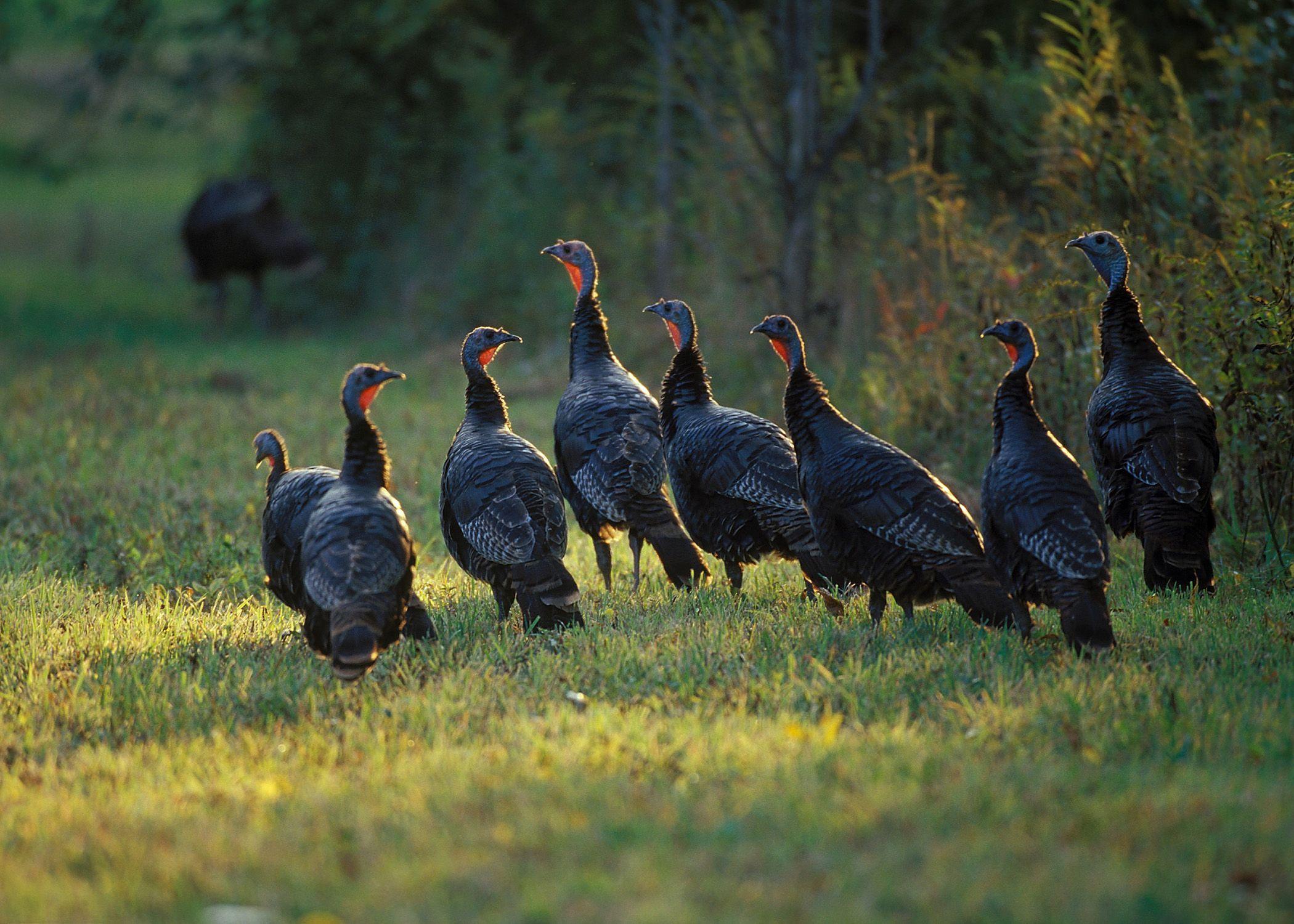 Spring Turkey Hunting Wallpapers - Top Free Spring Turkey Hunting