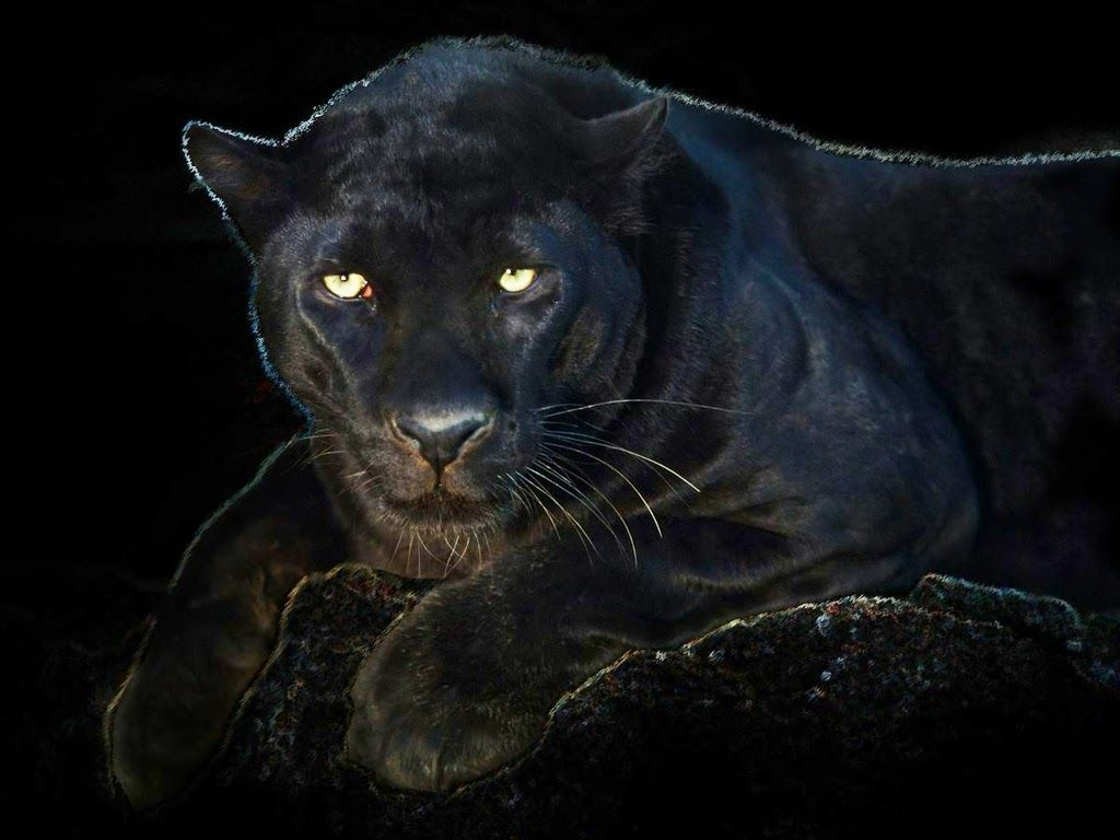 Angry Black Panther Animal Wallpapers Top Free Angry Black Panther Animal Backgrounds Wallpaperaccess