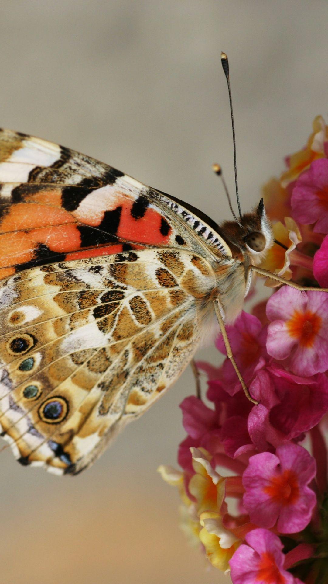 Hình nền iPhone 1080x1920 Butterfly