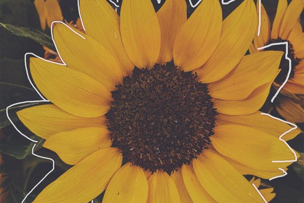 Yellow Aesthetic Sunflowers Wallpaper